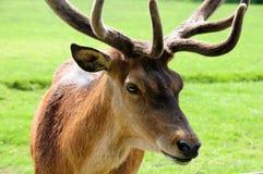 hjortredfullvuxen hankronhjort Royaltyfri Fotografi