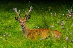 hjortredfullvuxen hankronhjort Arkivfoton