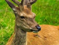 hjortredfullvuxen hankronhjort Royaltyfri Bild