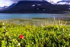 Hjortron i svenska Lapland Royaltyfri Bild