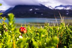 Hjortron i svenska Lapland Arkivfoto