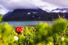 Hjortron i svenska Lapland Royaltyfria Bilder