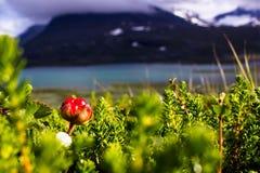 Hjortron i svenska Lapland Arkivfoton