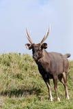 hjortsambar Fotografering för Bildbyråer