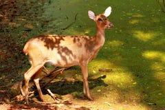 Hjortställning i skuggan Arkivfoto