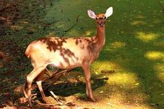 Hjortställning i skuggan Royaltyfri Bild