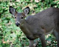 Hjortstående i skogen Arkivbild