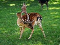 hjortträdor royaltyfri foto