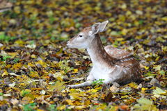hjortträn Royaltyfri Bild