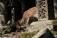 Hjortvandring i en japansk tempel Arkivbilder