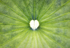 Hjärta formar i lotusblommaleaf Arkivfoton