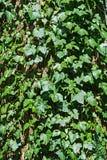Hélice de hedera inglesa de la hiedra que sube en un tronco de árbol viejo Foto de archivo