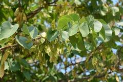 Hülsen auf grünem Baumast Stockbild
