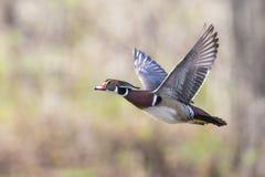 Hölzerne Ente im Flug Stockfotografie
