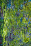 Hölzernes strukturiertes mit grünem Moos Stockbilder