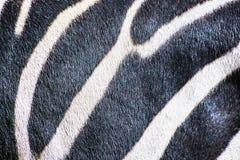 hmann的山斑马-马属斑马hartmannae, a背景  免版税图库摄影