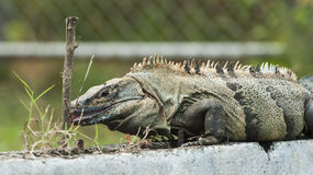 Hmmm, Good!. An adult male black spiny-tailed iguana licks the bark of a hibiscus twig Stock Photography