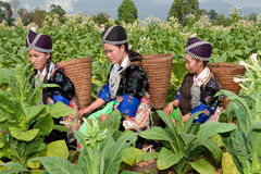 Hmong of Asia harvest tobacco Royalty Free Stock Image