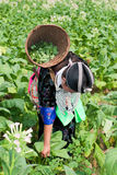 Hmong of Asia harvests tobacco Stock Photos