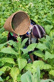 Hmong of Asia harvests tobacco Stock Image