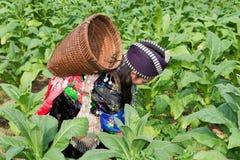 Hmong de Asia cosecha el tabaco Imagen de archivo