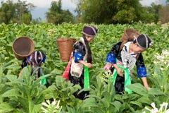 Hmong del tabacco della raccolta dell'Asia fotografia stock libera da diritti