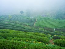 Hmong hill tribe harvest tea plant in the morning at rai cha 200 Stock Photos