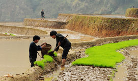 Hmong people working on rice field in Lai Chau, Vietnam. Hmong farmers working on rice field in Lai Chau, Vietnam stock photo