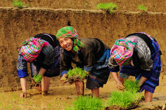 Hmong people working on rice field in Lai Chau, Vietnam. Hmong women with traditional dress working on rice field in Lai Chau, Vietnam. The Hmong are an ethnic Royalty Free Stock Photo