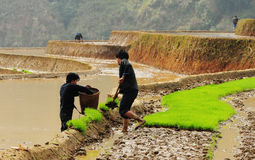 Hmong people working on rice field in Moc Chau, Vietnam Stock Images