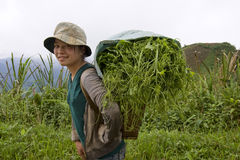 Hmong transports vegetables to the valley, Laos Stock Images