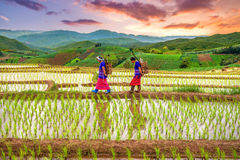 Hmong woman with rice field terrace background. Chiangmai , thailand - July 25,2015 : Unidentified Hmong woman with rice field terrace background on July 25 Royalty Free Stock Photography