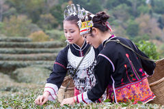 The Hmong women on their traditional dresses are collecting tea leaves Royalty Free Stock Photography