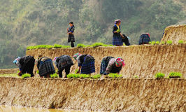 Hmong women working on rice field in Son La, Vietnam Royalty Free Stock Photography