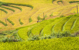 Hmong workers on rice field terraces Royalty Free Stock Images