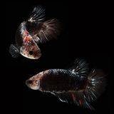 HMPK Betta Male. HMPK  Betta Female on black background. Beautiful fish. Swimming flutter tail flutter Stock Photos
