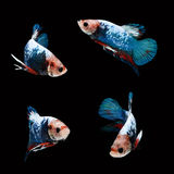 HMPK Betta Male. HMPK  Betta Female on black background. Beautiful fish. Swimming flutter tail flutter Stock Photography