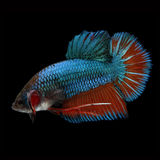 HMPK Giant Betta Male. HMPK Giant Betta Female on black background. Beautiful fish. Swimming flutter tail flutter Stock Photo