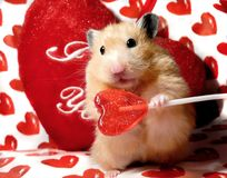 Hámster del sirio del día de tarjeta del día de San Valentín Foto de archivo libre de regalías