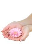 Hände, die einen rosafarbenen Gerbera anhalten Stockfotos