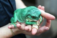Hände, die großen Frosch anhalten Stockbild