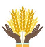 Hände, die Weizenohren anhalten Stockfotografie