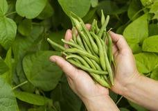 Hände füllten mit frischen grünen Bohnen vom Garten Stockbilder