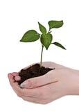 Hände mit Grünpflanze Stockfoto
