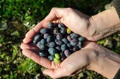 Hände voll der Oliven Lizenzfreie Stockfotografie
