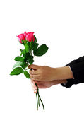 Händer som rymmer isolerade snabba banan för ros den blomma Fotografering för Bildbyråer