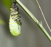 hängande monark för caterpillar Arkivbilder