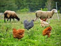 Hönor och får som betar på organisk lantgård Arkivbild