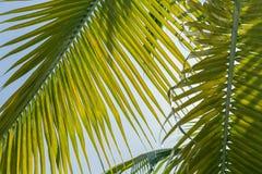 Hoży, piękny liścia tło przeciw niebieskiemu niebu, zielony świeżego, palmowego, Zdjęcia Stock