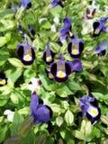 Hoa dalat Arkivbild